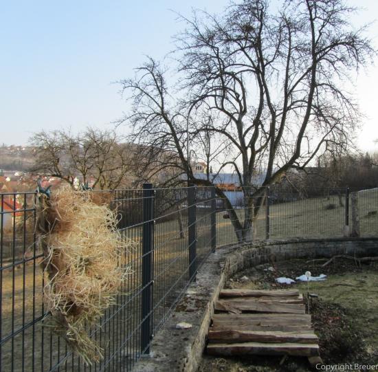 Blick zum Apfelbaum mit dem ersten Nest von Krähen.