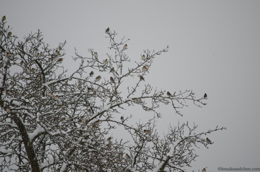 grosse Versammlung von Bergfinken