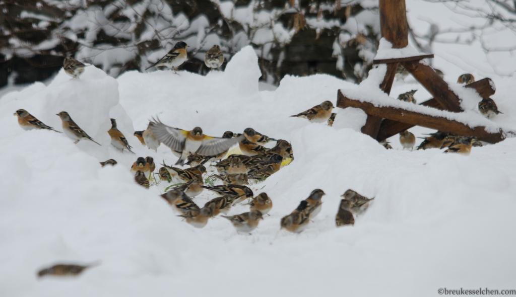 Bergfinken beim Vogelhäuschen