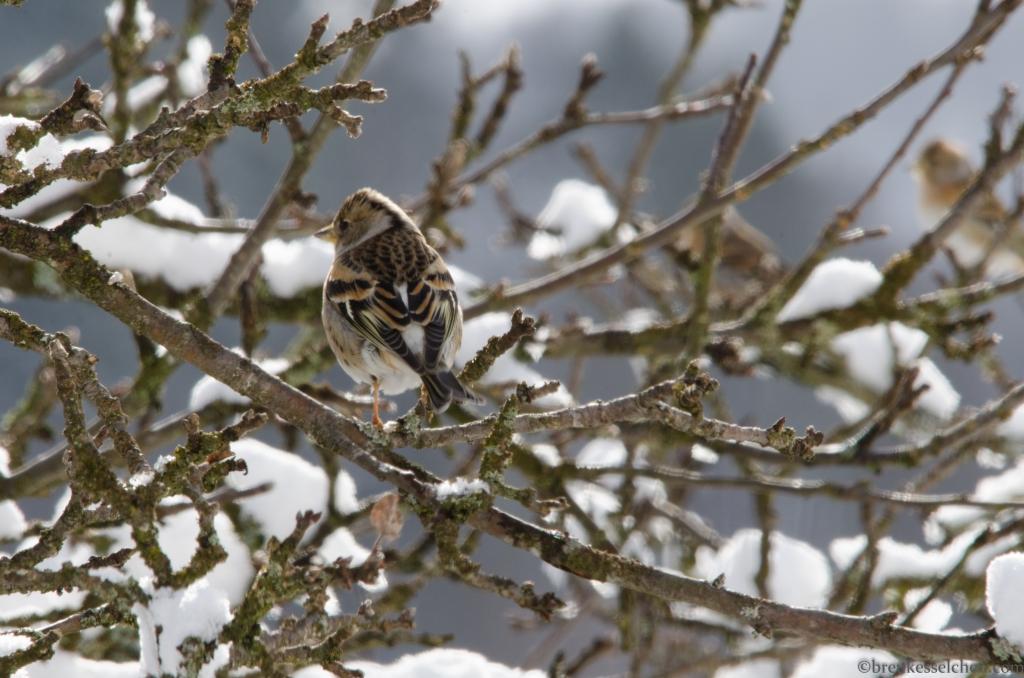 Bergfinkenweibchen