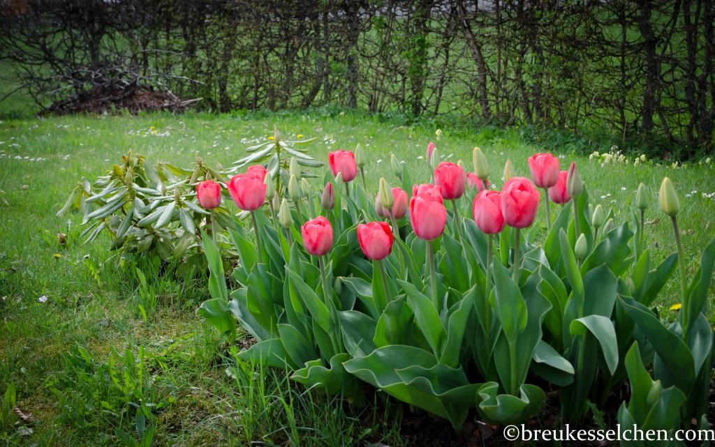 Tulpen in all ihrer Pracht