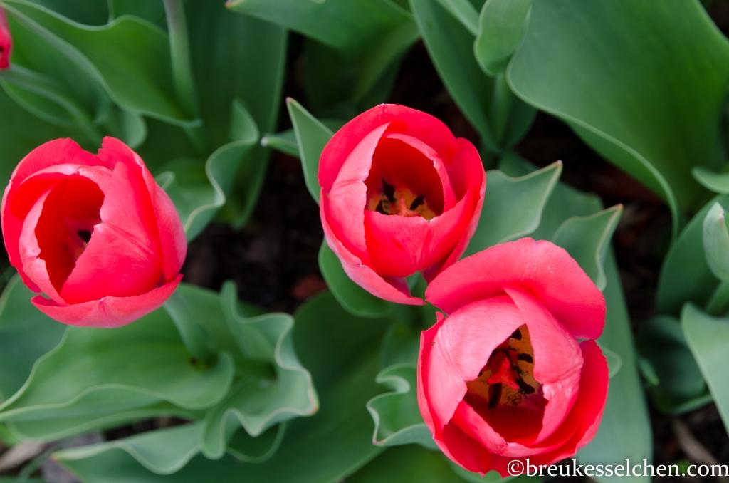 Tulpen von oben. So perfekt :)