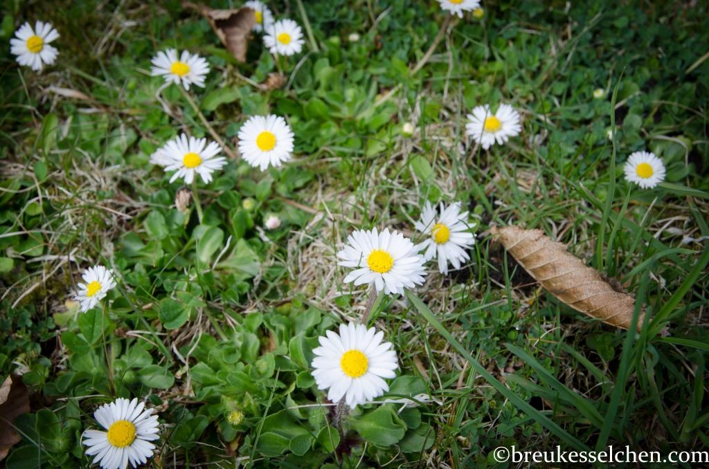 Kleine Gänseblümchen auf der Rasenfläche