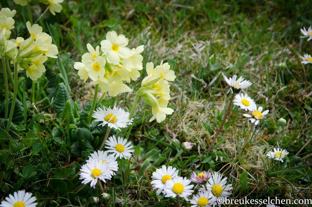 Gänseblümchen mit anderen Wildblumen auf der Rasenfläche