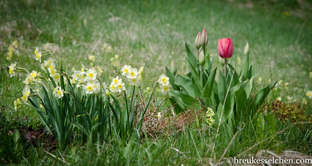 Meine Tulpen blühen nun endlich! Was für ein schönes Rot...und die kleinen Narzissen...herrlich!
