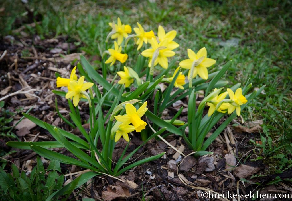 Kleine Narzissen...was für ein schönes Gelb!