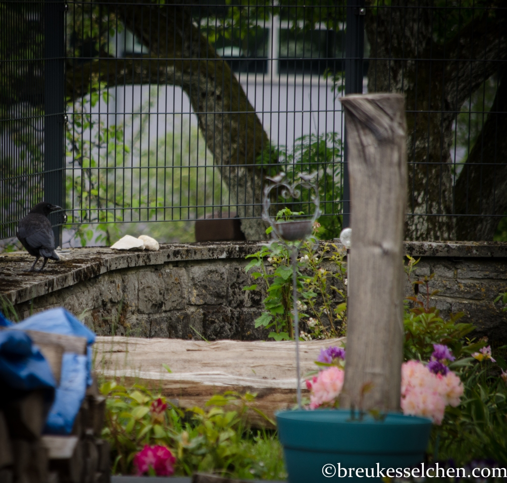 Jungkrähe auf der Mauer in der Nähe der großen Holzscheite